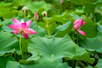 Blooming pink lotus flowers  in summer