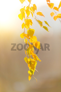 beautiful autumn yellow birch leaves background