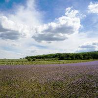 Herbal flower Phacelia on a meadow