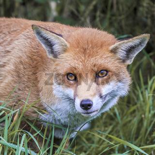 Wary Fox (Canidae Vulpini ) Berkshire UK