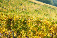 Vineyard in the hills of the Riesling wine area Moselle.