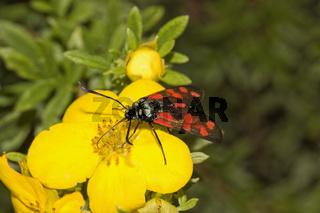 Sechsfleckwidderchen,  Zygaena filipendulae