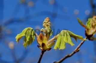 eine offene Kastanienknospe mit jungen Blättern im Frühling vor blauem Himmel