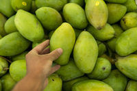 Male hands holding a green juicy fresh mango fruit with a lot of green mangoes on a background. Group of fresh green mango for sell .Thai fruit tropical raw mangoes.
