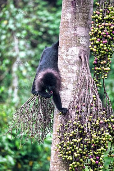 Uganda-Mangabe im Kibale National Park Uganda (Lophocebus ugandae)   Uganda mangabey at Kibale National Park Uganda (Lophocebus ugandae)