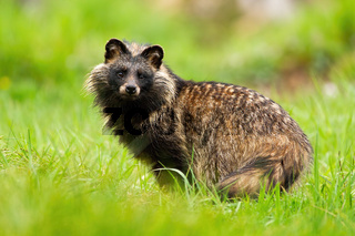 Surprised raccoon dog, nyctereutes procyonoides, staring in summer