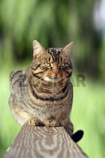 beautiful striped cat relaxing on the fence over green background