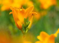 Orange campsis flower blossom