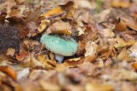 Grüngefelderter Täubling, Russula virescens - green brittlegill, Russula virescensin in autumn forest