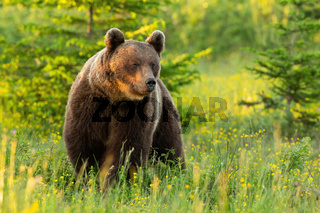 Majestic brown bear standing on meadow in summer nature.