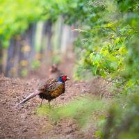 Pheasant in a vineyard in Burgenland