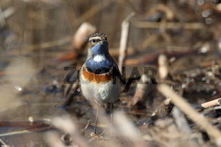 Bluethroat (Luscinia svecica) Germany