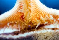 Starfish underwater close-up view