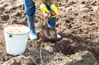 Fragment of legs digging soil with shovel to harvested potatoes