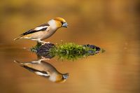 Male hawfinch sitting on a moss in the middle of pond with reflection on water.