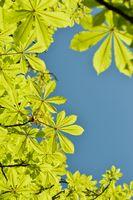 Frühlingsblätter Rosskastanie