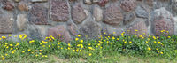 Red  abandoned old granite castle  wall on a hill with flowering dandelions panorama
