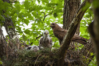Family of common buzzard with adult and little chicks sitting on nest