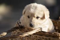 Little white puppy in a straw basket.