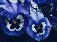 Blue flower on dark background, floral and nature