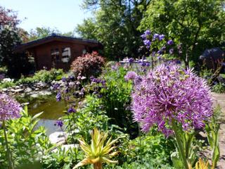 Blütenstand des Riesen-Lauch (Allium giganteum) am Gartenteich