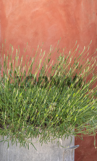 Lavender bush in front of red house wall