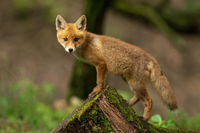 Baby red fox climbing on mossed stump in spring nature