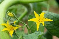 Tomato (Solanum lycopersicum)