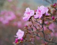 Closeup shot of Rhododendron dauricum flowers (popular names bagulnik; maralnik).