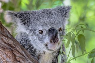 Australischer Koala Bär in einem Eukalyptusbaum in Queensland