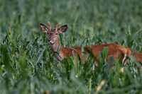 Young red deer standing in corn field in summertime nature.