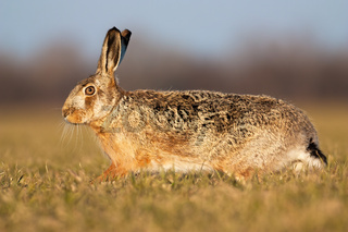Wild brown hare running on green meadow in springtime at sunset