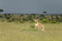 Lioness on a lookout, Maasai Mara National Reserve, Kenya, Africa