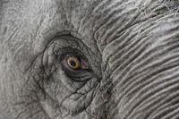 Das Elefantenauge