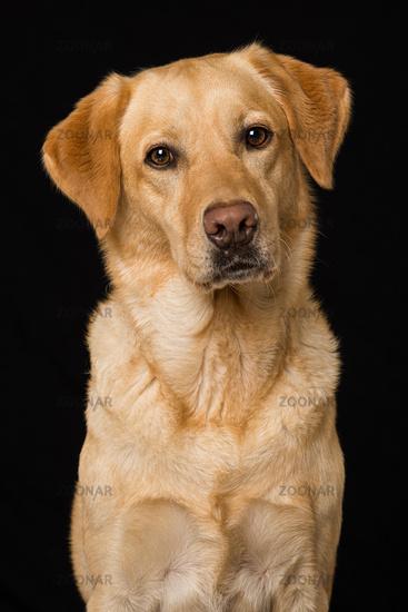 Labrador retriever dog on black background