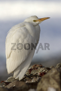 Cattle Egret in winter plumage which sits on sklah Antarctic islands