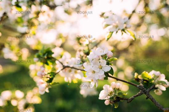 Apple buds bloom in spring. Apple blossom. Spring garden. Blurred background