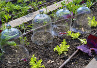Gläserne Anzuchtglocken mit jungen Pflanzen