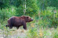 Kamchatka brown bear Ursus arctos piscator in natural habitat, walking in summer woodland. Kamchatka Peninsula