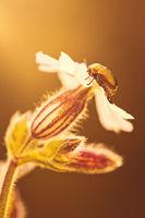 Ein glänzender Fallkäfer sitzt auf einer Blüte