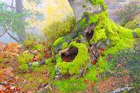 Buche Wurzel - beech root