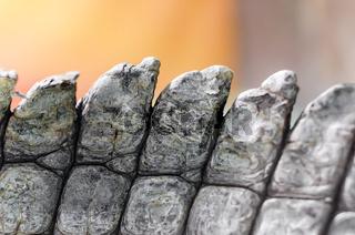 alligator crocodile skin in detail close up