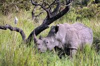 Rhino im Ziwa Rhino Sanctuary, Uganda | Rhino at Ziwa Rhino Sanctuary, Uganda