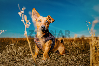 Portrait of a young brown healthy crossbreed dog sitting on the meadow straw in a field with blue sky.