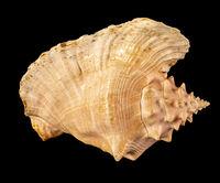 Sea shell isolated on a black background. Beautiful seashell