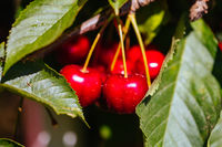 Fresh Cherries on a Tree in Australia