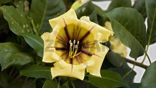Blüte einer gelben Brugmansia (Engelstrompete)