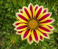 red and yellow bicolor flower closeup