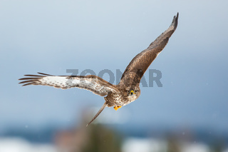 Common buzzard flying forward in winter nature.