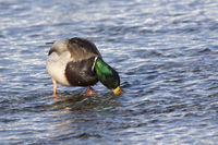 mallard male who that feeds on the ocean at low tide